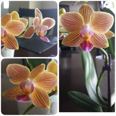 Tigerlily orchid